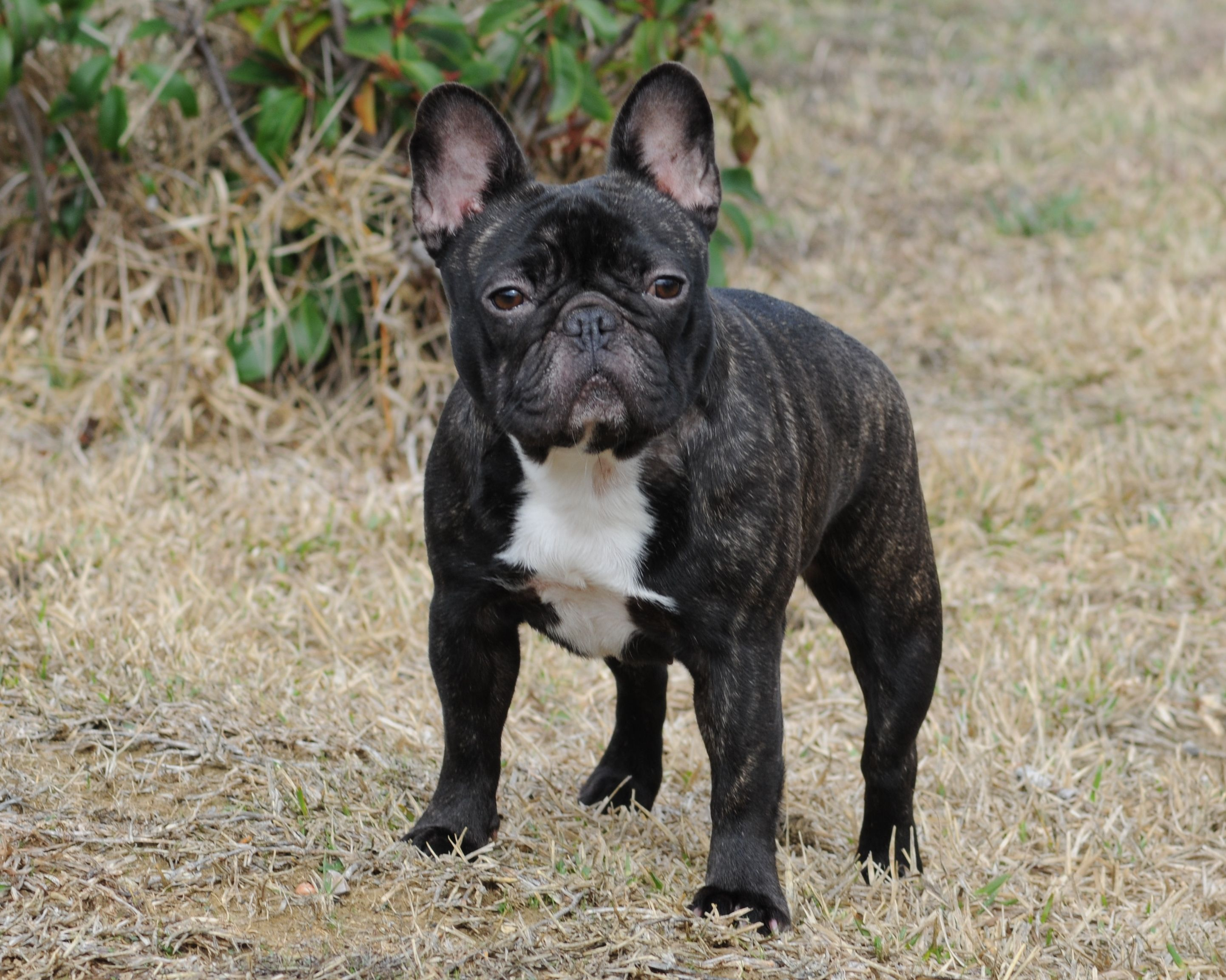Godiva French Bulldogs By Bullistik