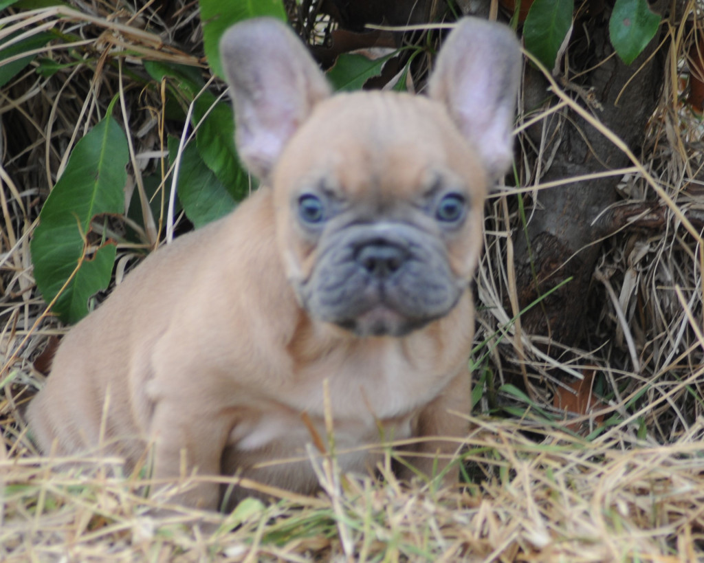 BLMF male | French Bulldogs by Bullistik