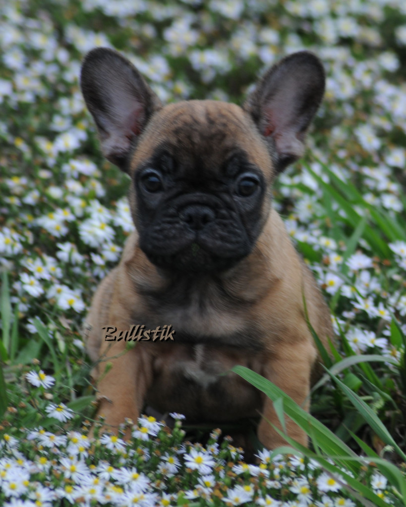 Fire x Tycoon Sable Female . | French Bulldogs by Bullistik