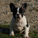 Tycoon x Moonlight Black & Tan Pied Male at/a, D/d, ky/ky